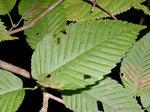 チドリノキ Acer carpinifolium