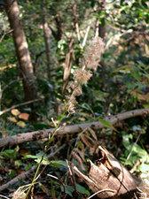 キッコウハグマ Ainsliaea apiculata