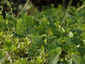 ヤブマメ Amphicarpaea bracteata subsp. edgeworthii  var. japonica