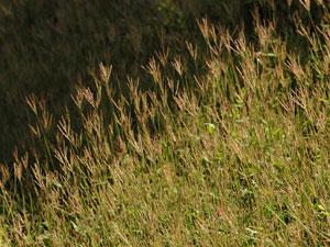 コブナグサ Arthraxon hispidus