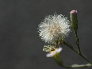 ヒロハホウキギク Aster subulatus var. sandwicensis