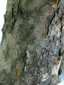 ヤマボウシ Benthamidia japonica