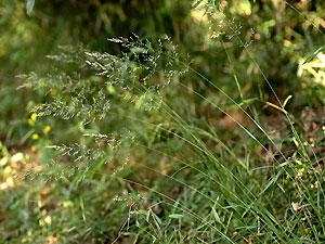 ノガリヤス Calamagrostis brachytricha