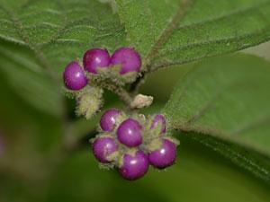 ヤブムラサキ Callicarpa mollis
