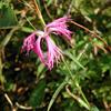 カワラナデシコ Dianthus superbus var. longicalycinus