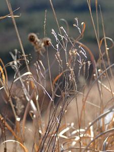 カワラナデシコ Dianthus superbus