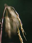 アブラススキ Eccoilopus cotulifer