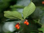 コマユミ Euonymus alatus f. striatus