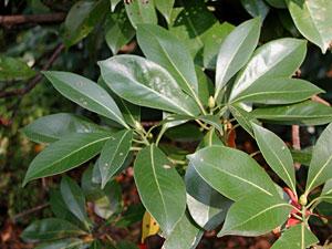 タブノキ Machilus thunbergii