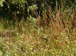 ヒメアシボソ Microstegium vimineum f. willdenowianum