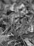 ネズミガヤ Muhlenbergia japonica