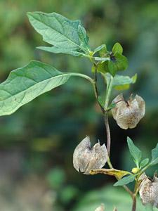 オオセンナリ Nicandra physalodes