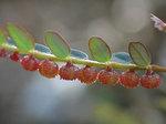 コミカンソウ Phyllanthus lepidocarpus