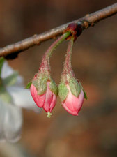 ジュウガツザクラ Cerasus 'Autumnalis'