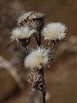 タムラソウ Serratula coronata subsp. insularis