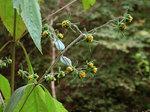 メナモミ Sigesbeckia pubescens