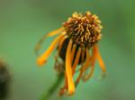 コウリンカ Tephroseris flammea subsp. glabrifolia