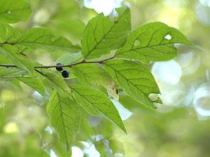 ナツハゼ Vaccinium oldhamii