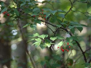 コバノガマズミ Viburnum erosum