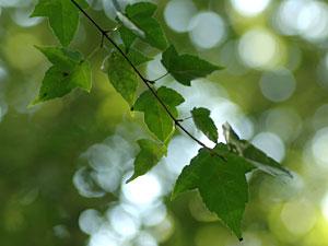ウリカエデ Acer crataegifolium