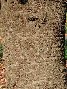 カンザクラ Cerasus x kanzakura