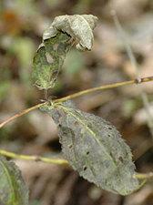 ジャコウソウ Chelonopsis moschata