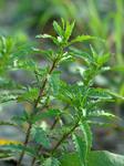 アリタソウ Chenopodium ambrosioides
