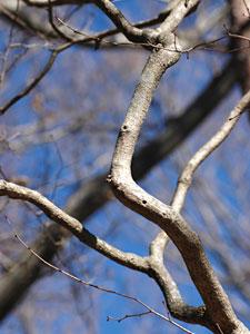 ツノハシバミ Corylus sieboldiana