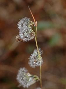 ヤクシソウ Crepidiastrum denticulatum