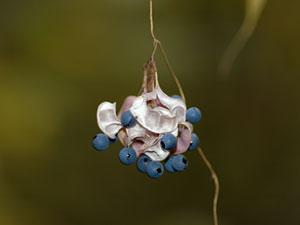 ノササゲ Dumasia truncata