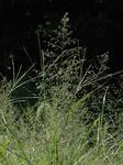 カゼクサ Eragrostis ferruginea