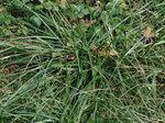 オニウシノケグサ Festuca arundinacea