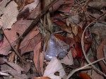 シモバシラ Keiskea japonica