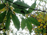 カゴノキ Litsea coreana
