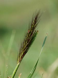 チカラシバ Pennisetum alopecuroides
