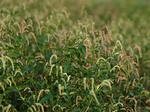 オオイヌタデ Persicaria lapathifolia