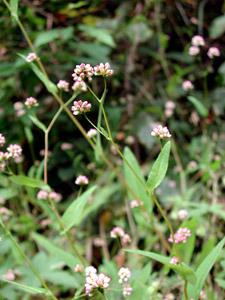 アキノウナギツカミ Persicaria sagittata var. sibirica