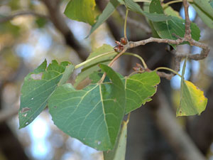 ヤマナラシ Populus tremula