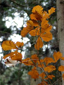 カシワ Quercus dentata