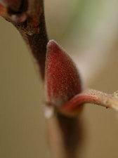 ネコヤナギ Salix gracilistyla