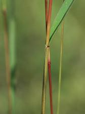 ムラサキエノコログサ Setaria viridis  f. misera