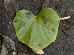 ツヅラフジ Sinomenium acutum