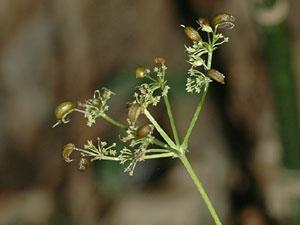 カノツメソウ Spuriopimpinella calycina