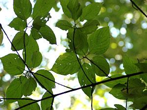クマノミズキ Swida macrophylla