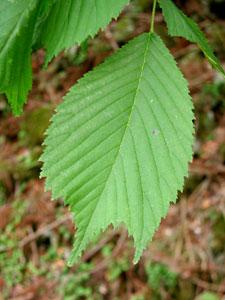 オヒョウ Ulmus laciniata