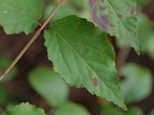オトコヨウゾメ Viburnum phlebotrichum